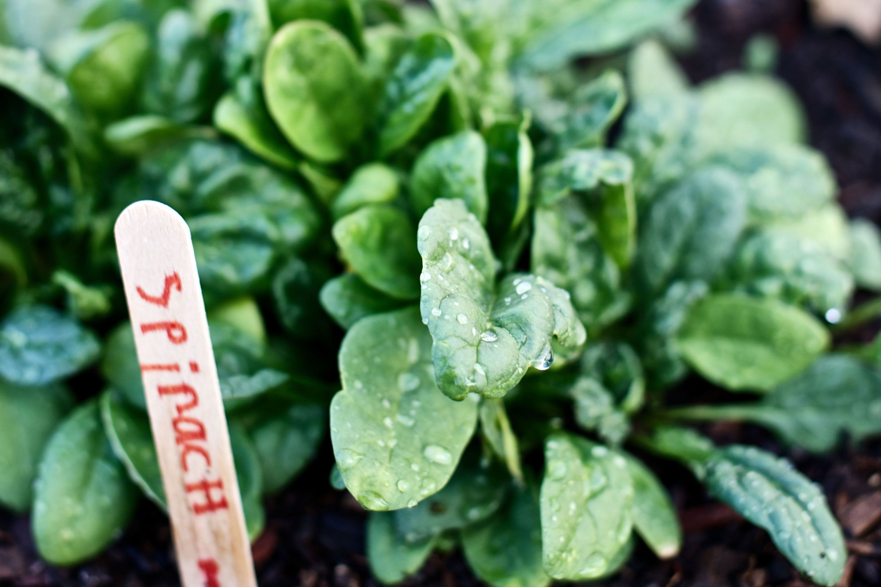 How To Grow Spinach In Your Home Garden