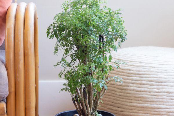 potted Ming Aralia