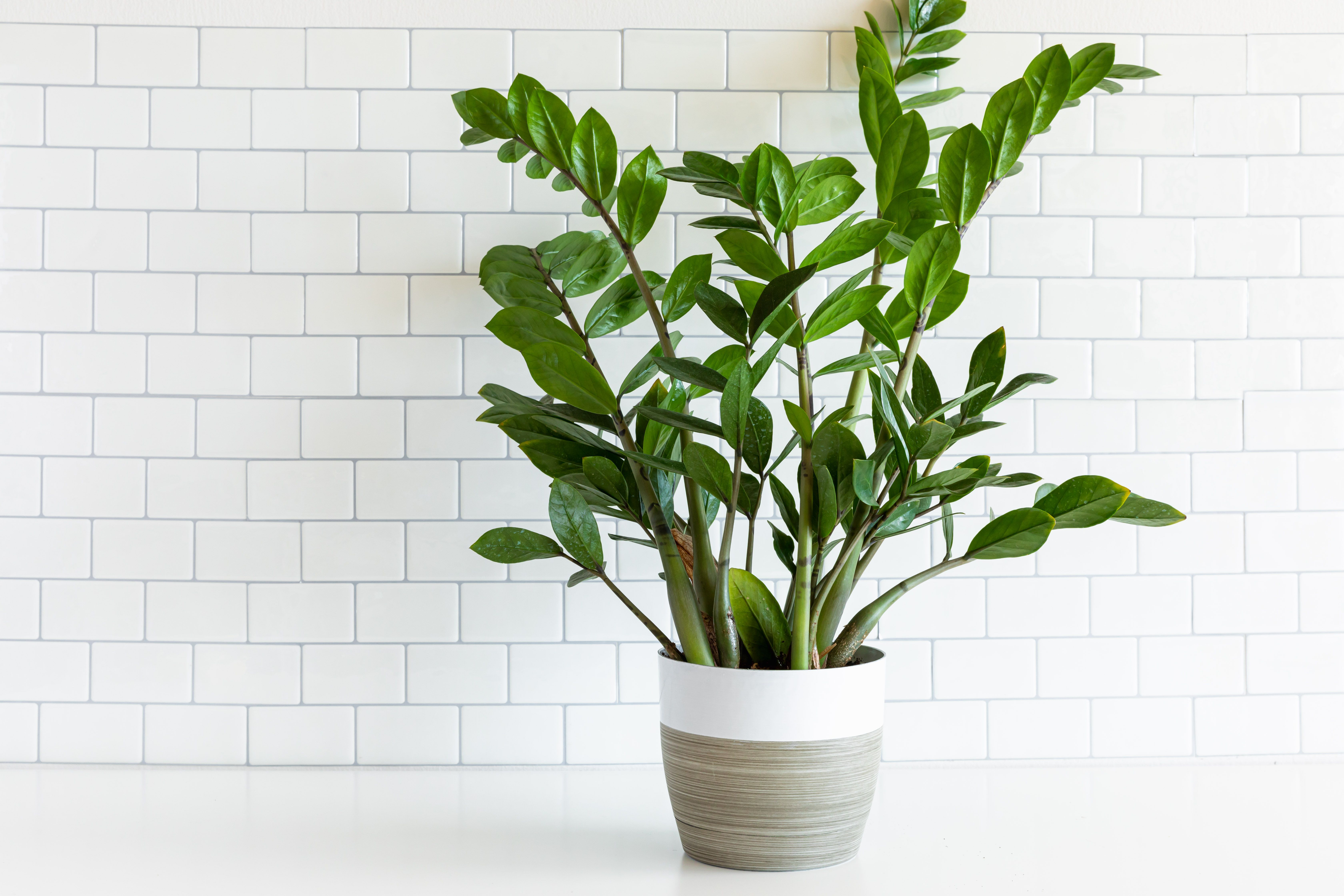 Zz Plant Zanzibar Gem Growing And Care Tips