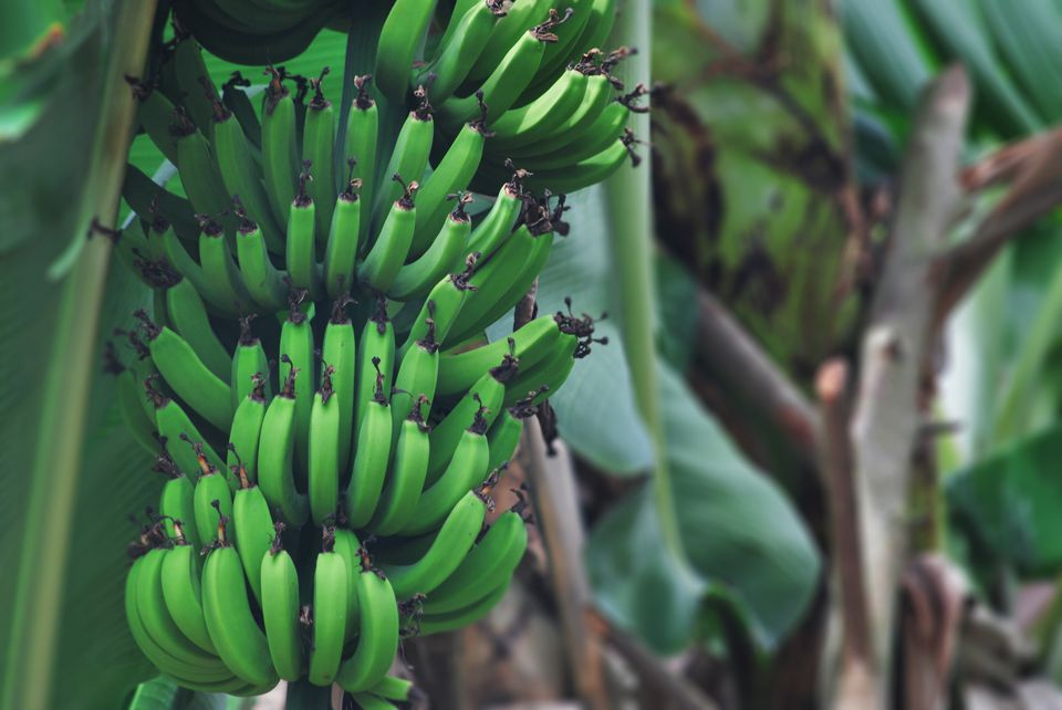 Plantains growing on a tree