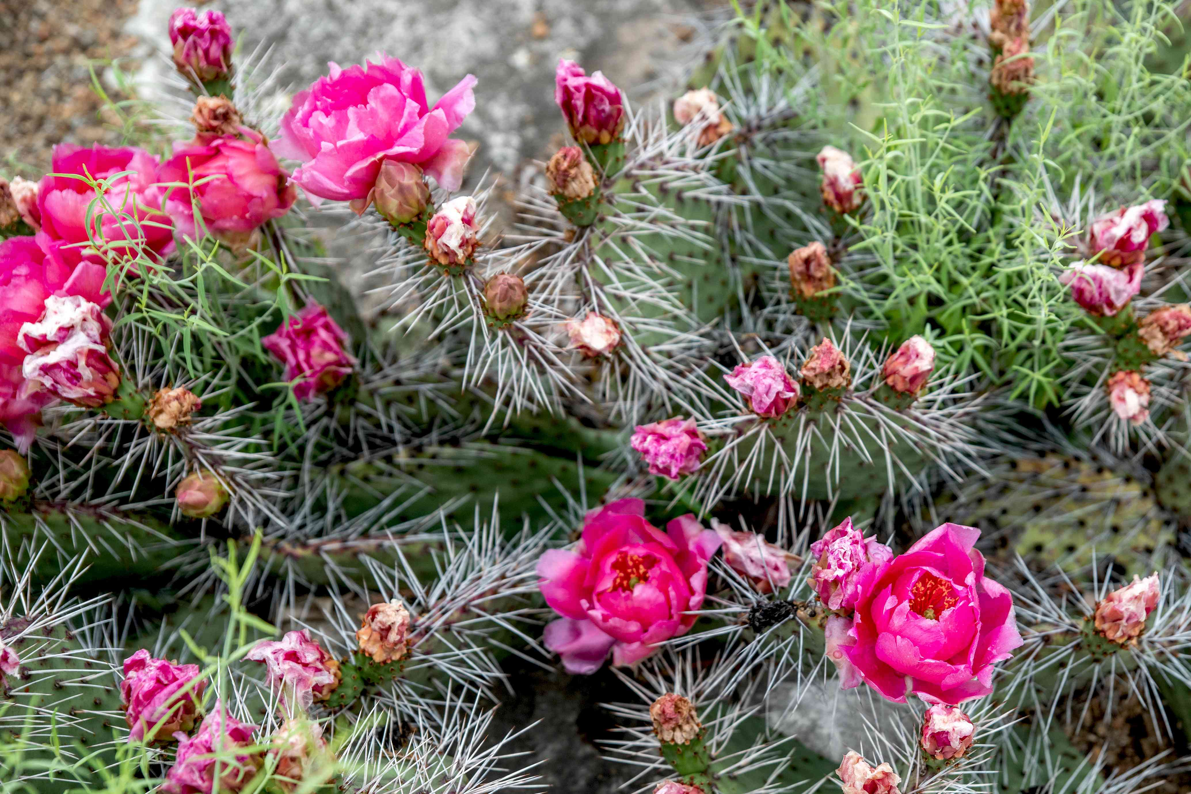 flowering prickly pear cacti