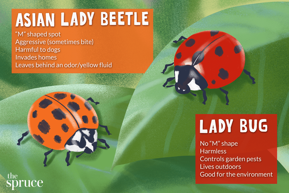 asian lady beetle and lady bug