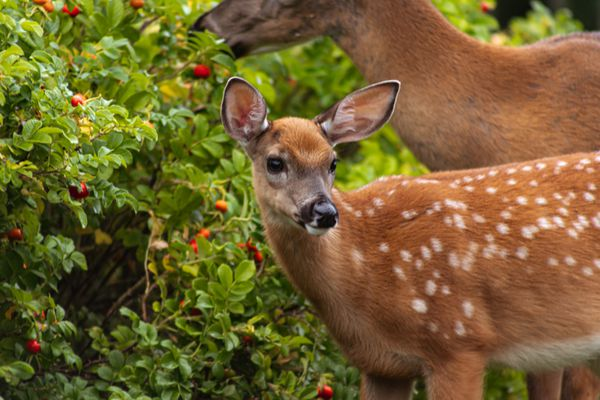 Deer and doe eating bush with small red berries