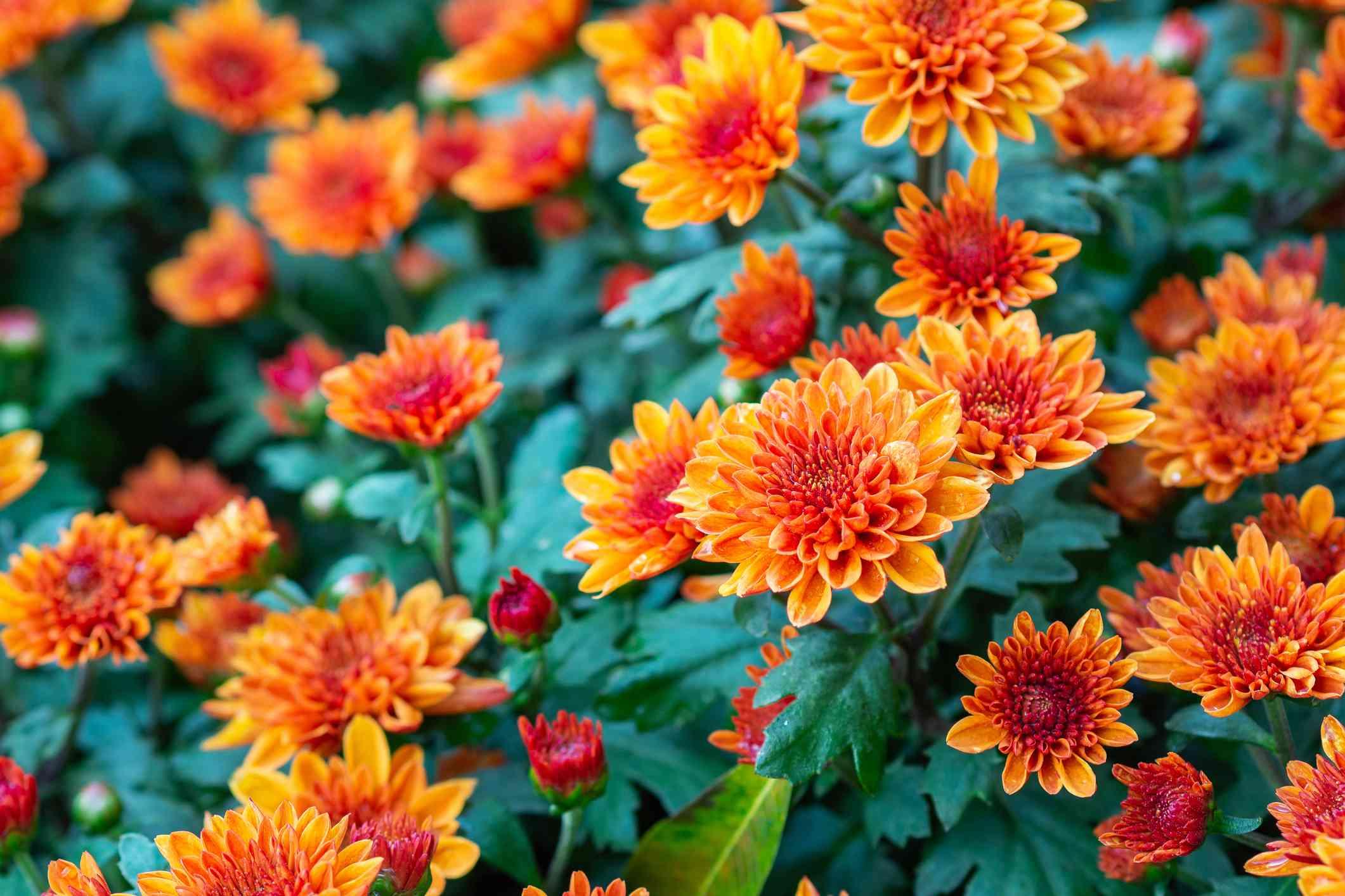 Close-Up Of Beautiful Chrysanthemum Flowers.
