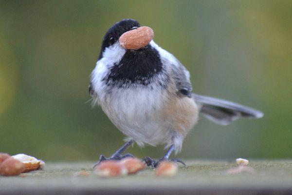 Chickadee With a Peanut