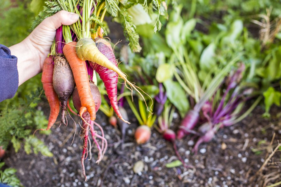 Farmer holding root vegetables