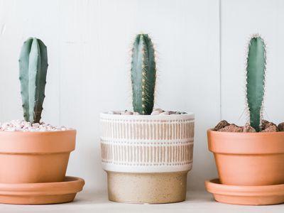 various Pilosocereus Cacti in pots