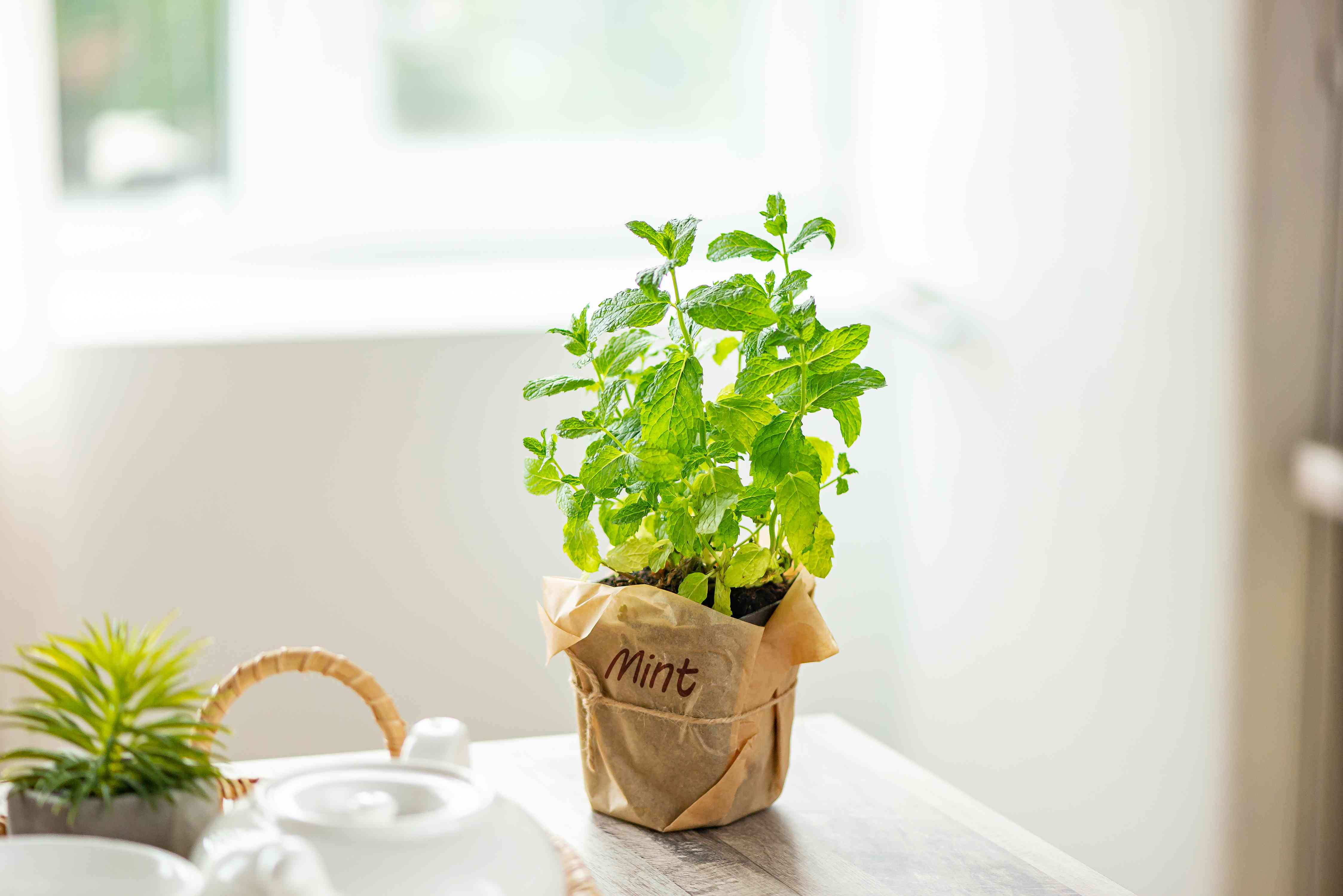 mint growing in a kitchen
