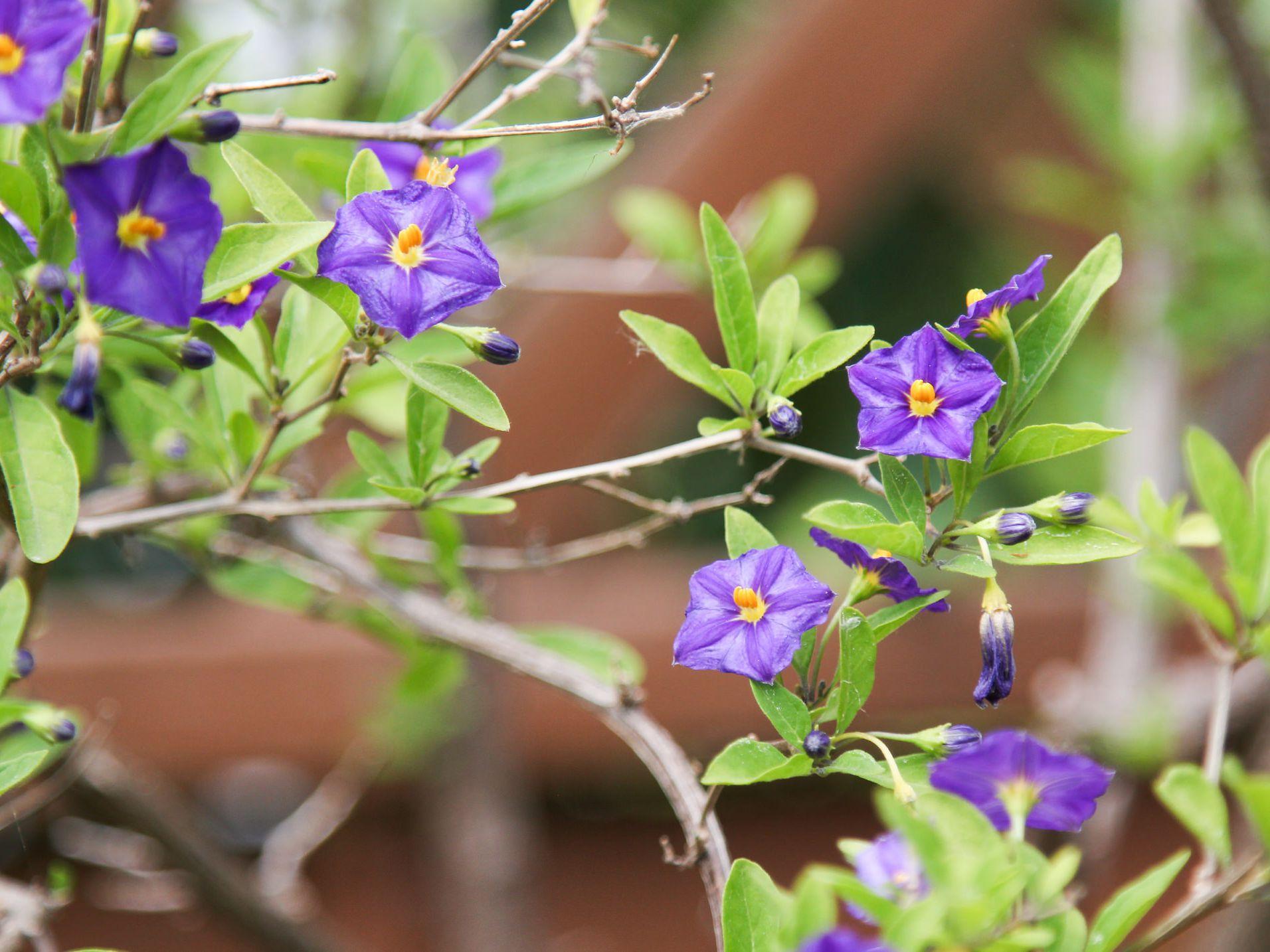 Growing The Blue Potato Bush In The Home Garden