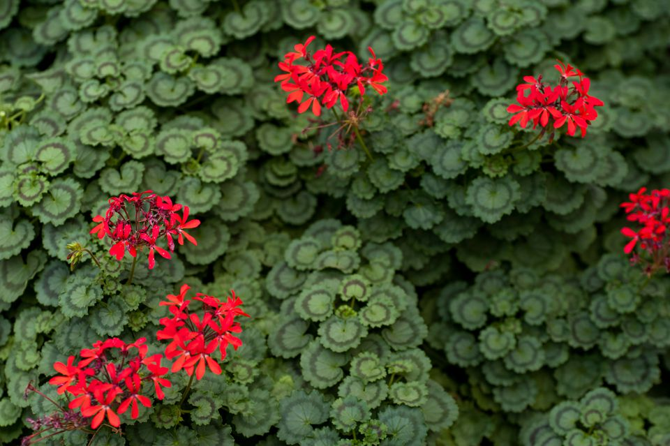 Ivy geranium plant with circular leaves and small bright red flowers