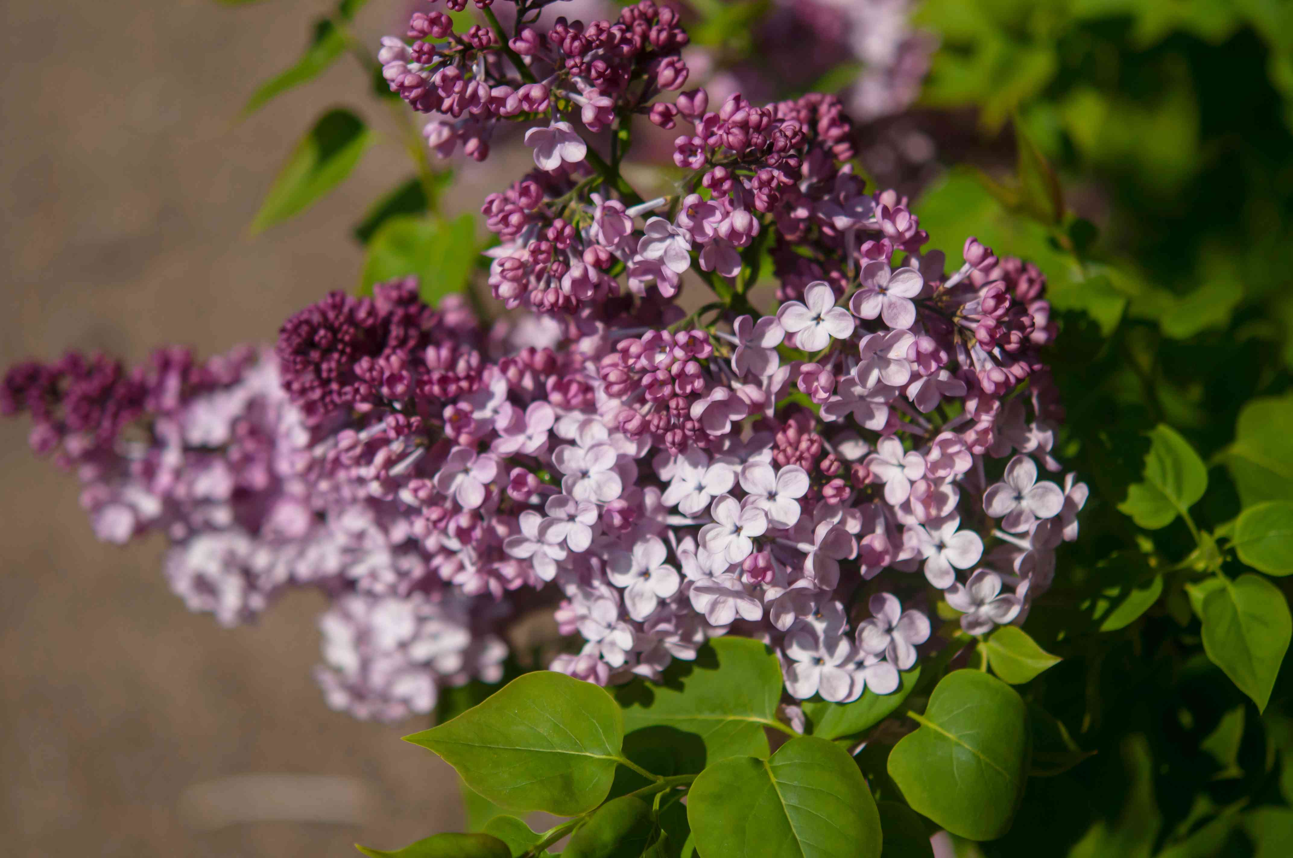 Maiden's blush lilac with reddish-purple flowers and buds closeup