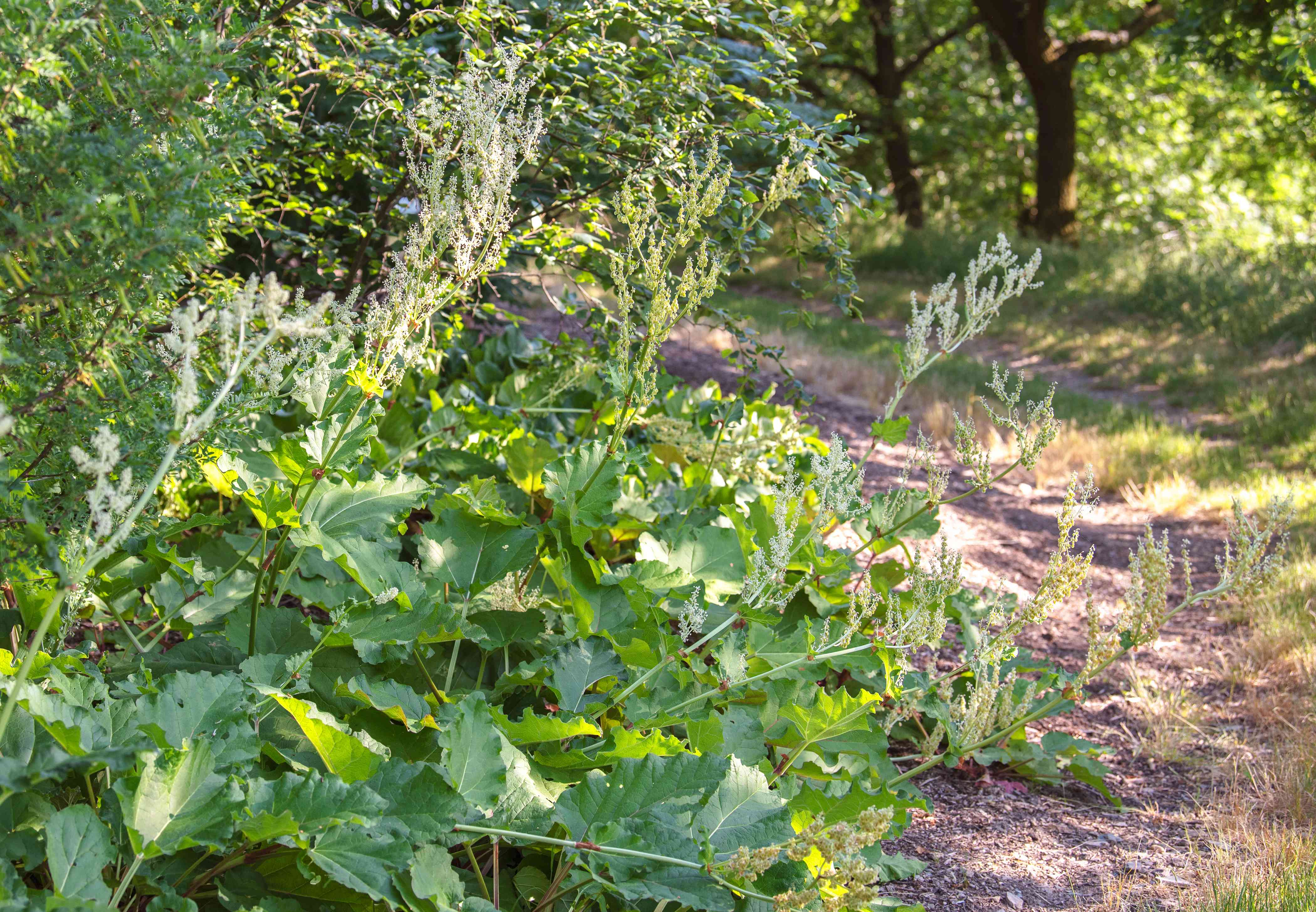 Rhubarb plant with large textured leaves on side of dirt pathway
