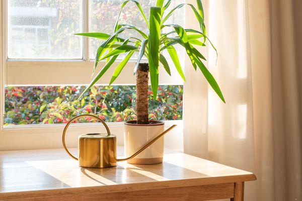 Spineless yucca (Yucca elephantipes) plant in window