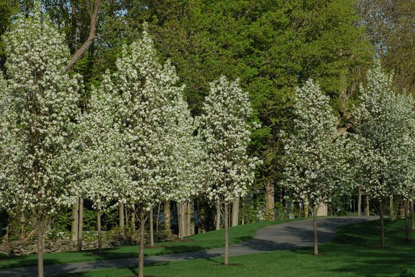 Bradford pear trees snap in storms. But as seen in this picture, they are, admittedly, pretty.