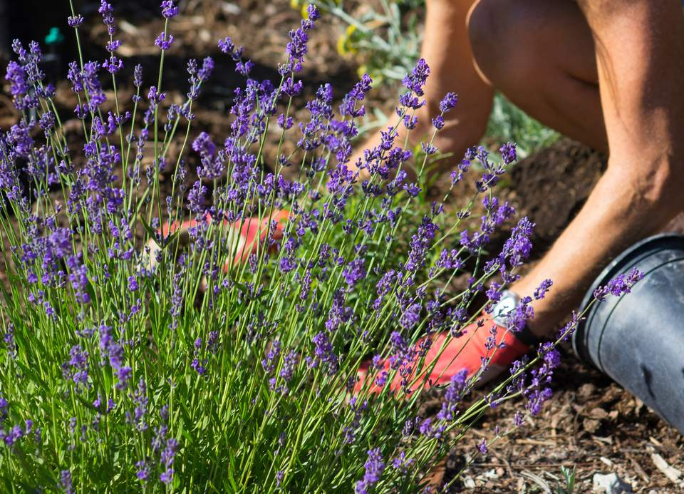 Cropped Image Of Man Planting Lavender in Back Yard