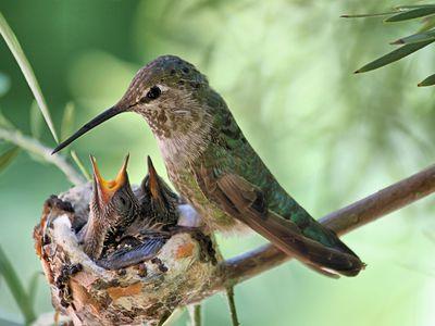 hummingbird in nest with babies