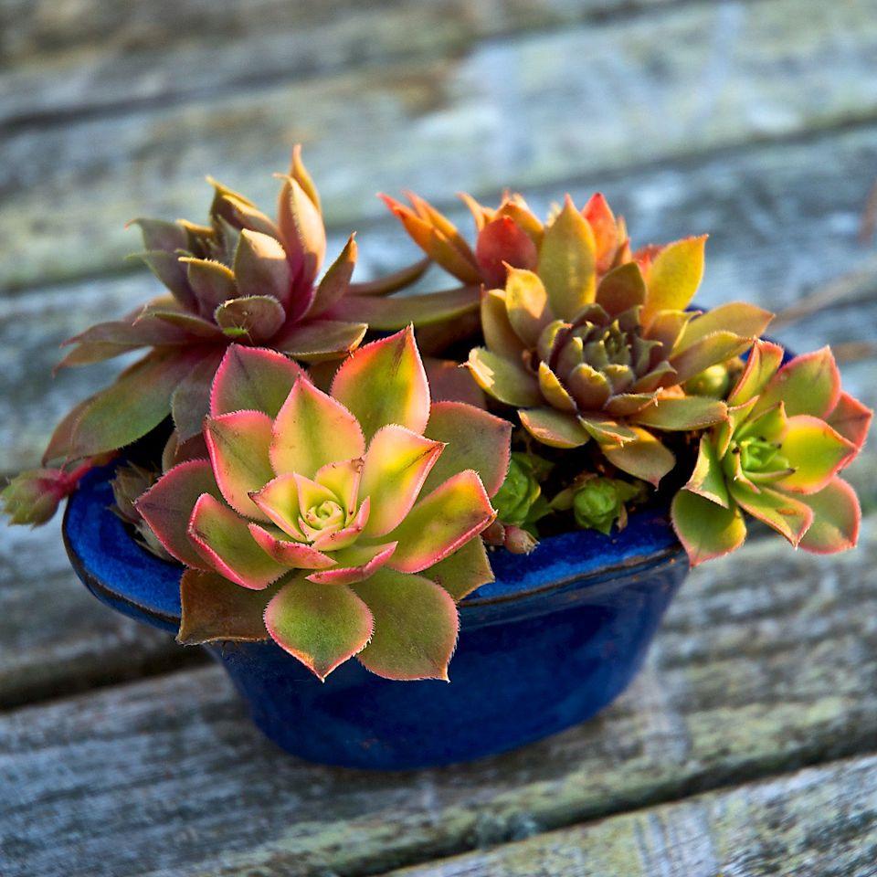 imagen de jardinería en contenedor de planta suculenta en miniatura jardín de contenedores