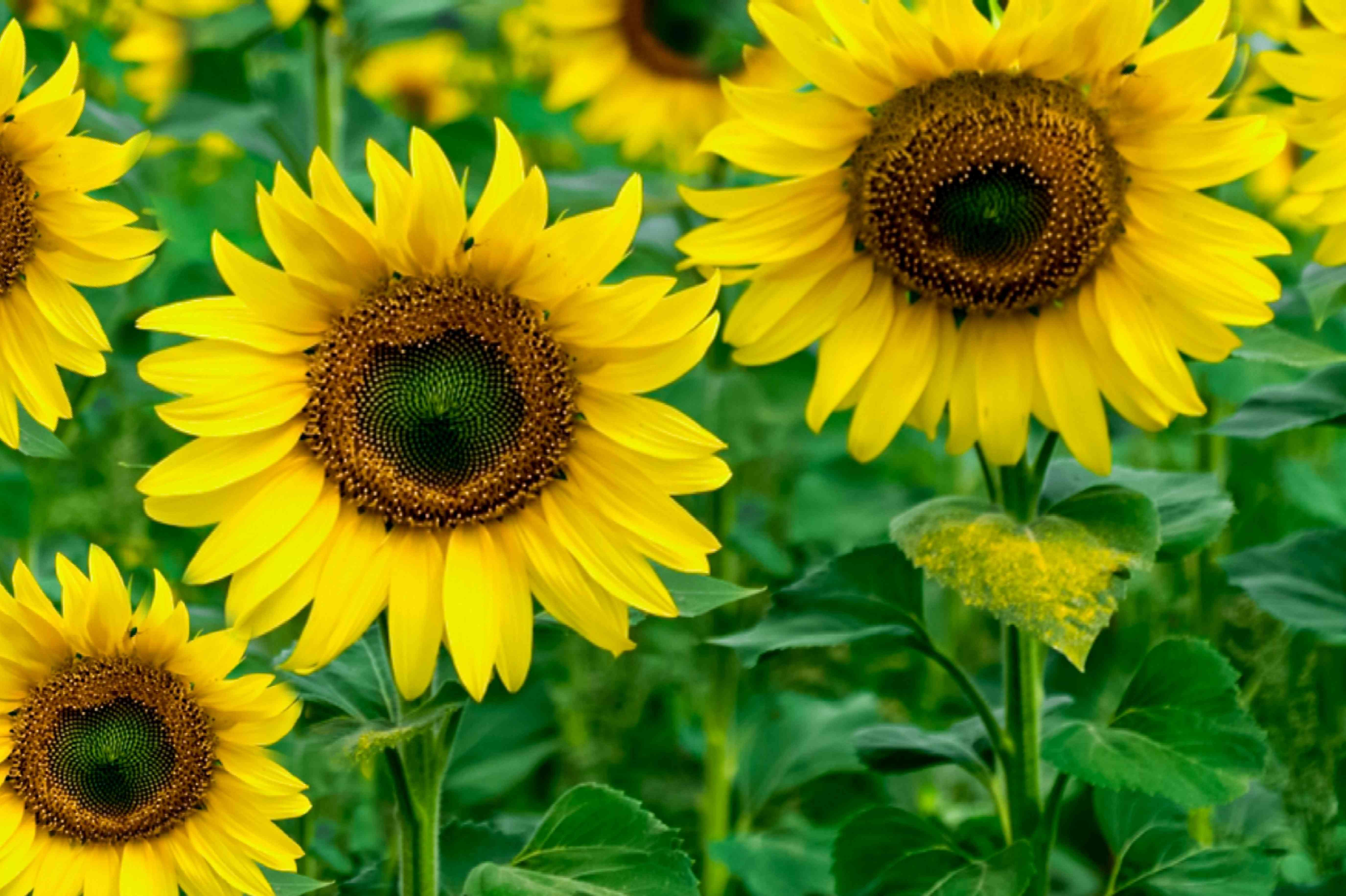 sunflower for a leo