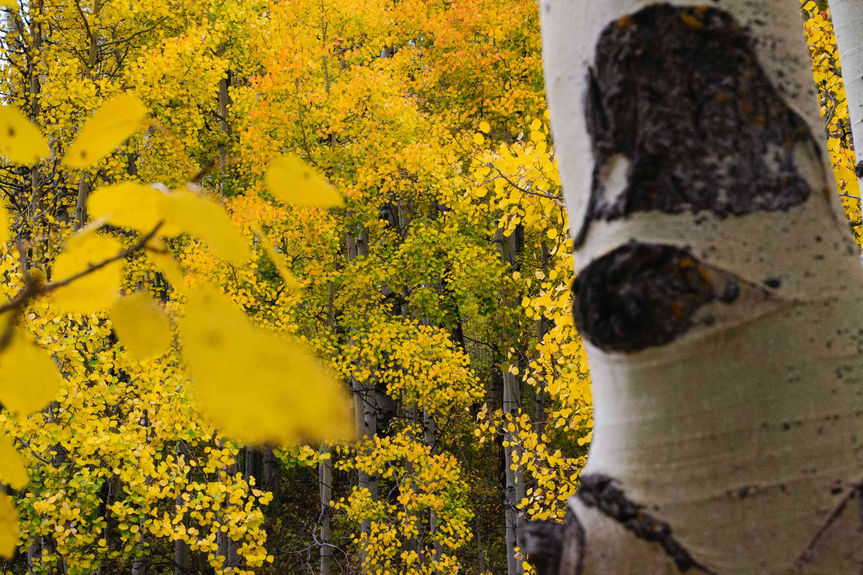 Quaking aspen tree with white tree bark in front of aspen trees with yellow leaves