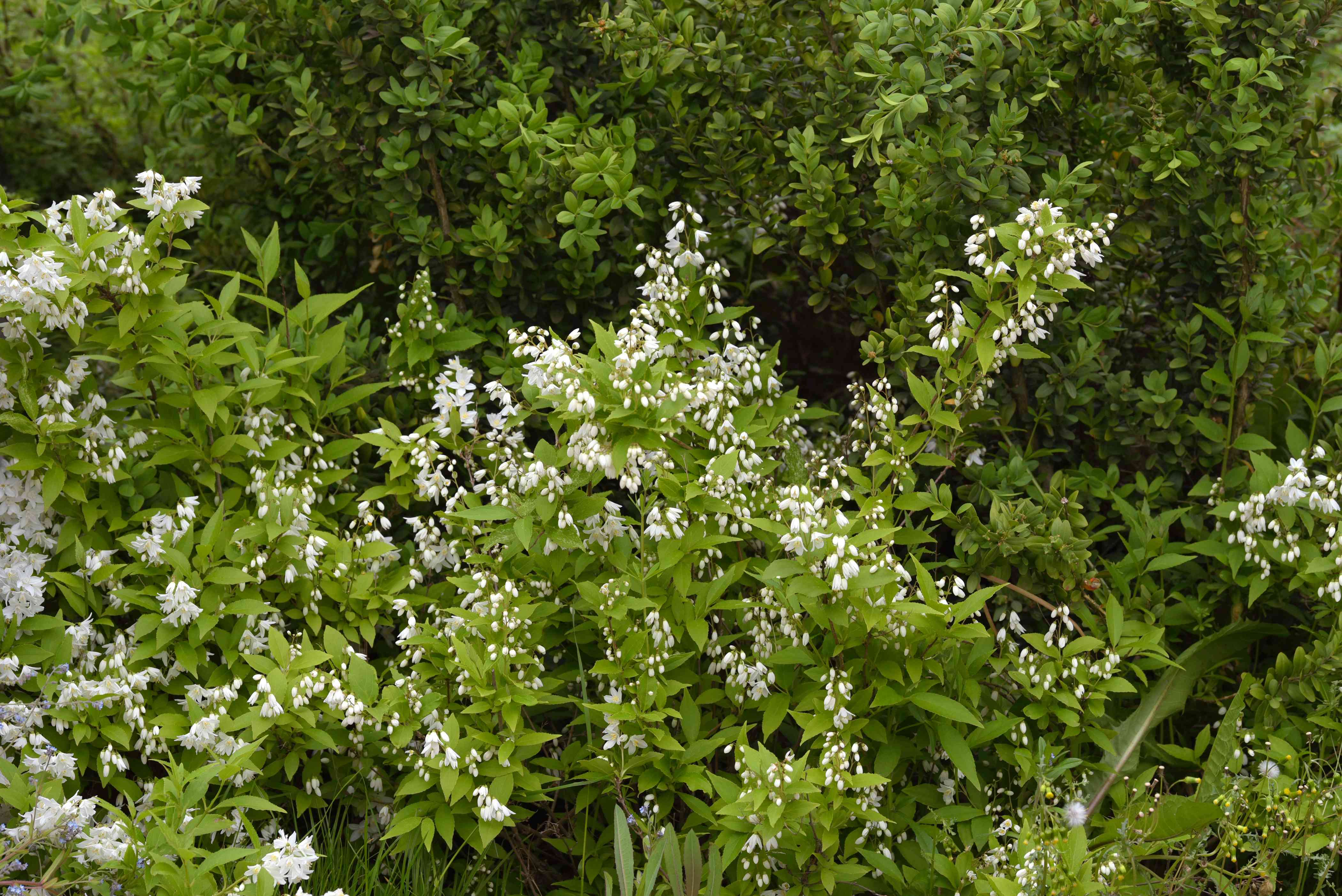Dwarf Deutzia 'Nikko' shrub with tall branches and arching stems with small white flower blooms