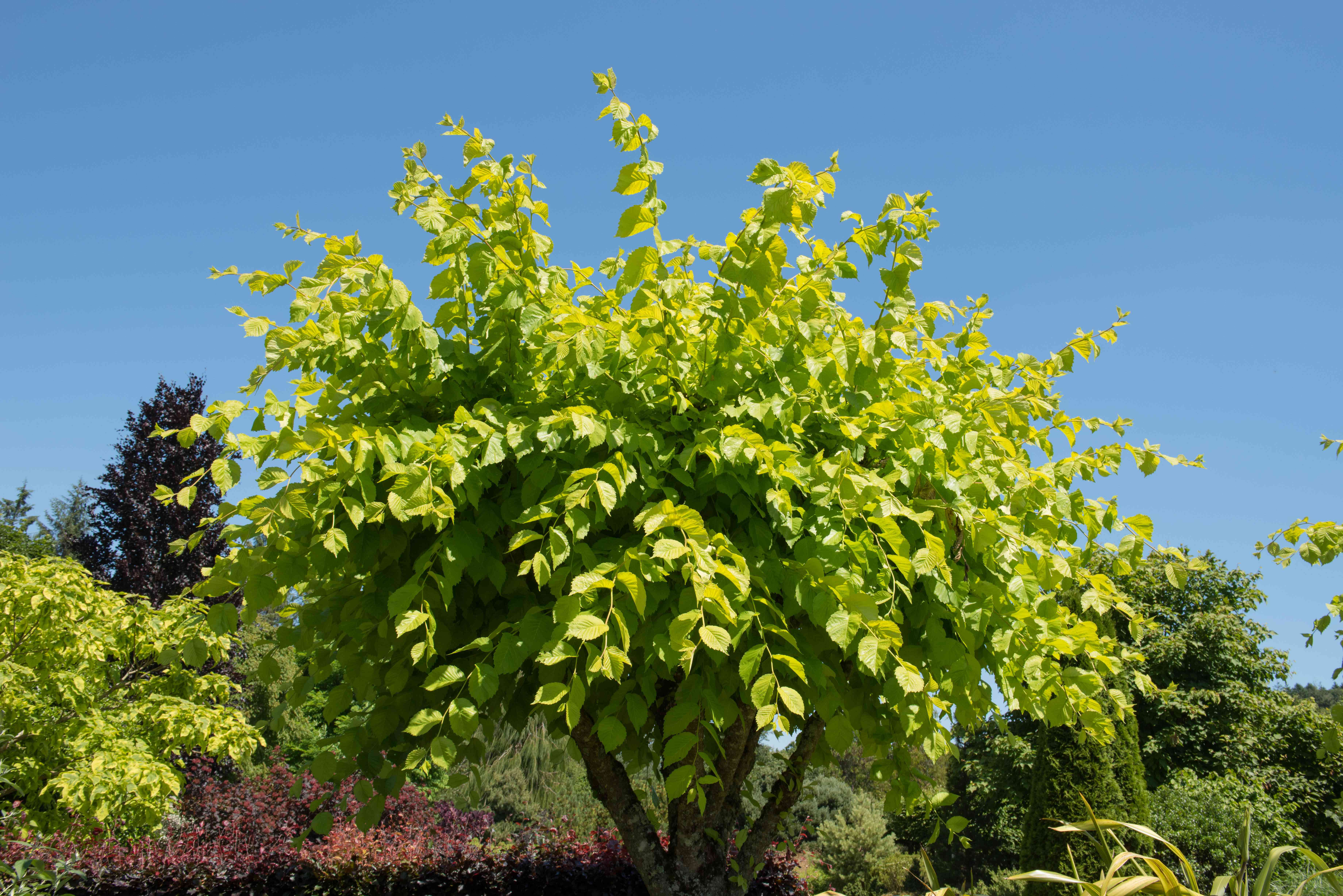 Green foliage of the camperdown elm