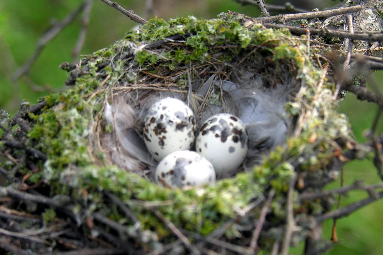Photos Of Wild Bird Nests And Eggs