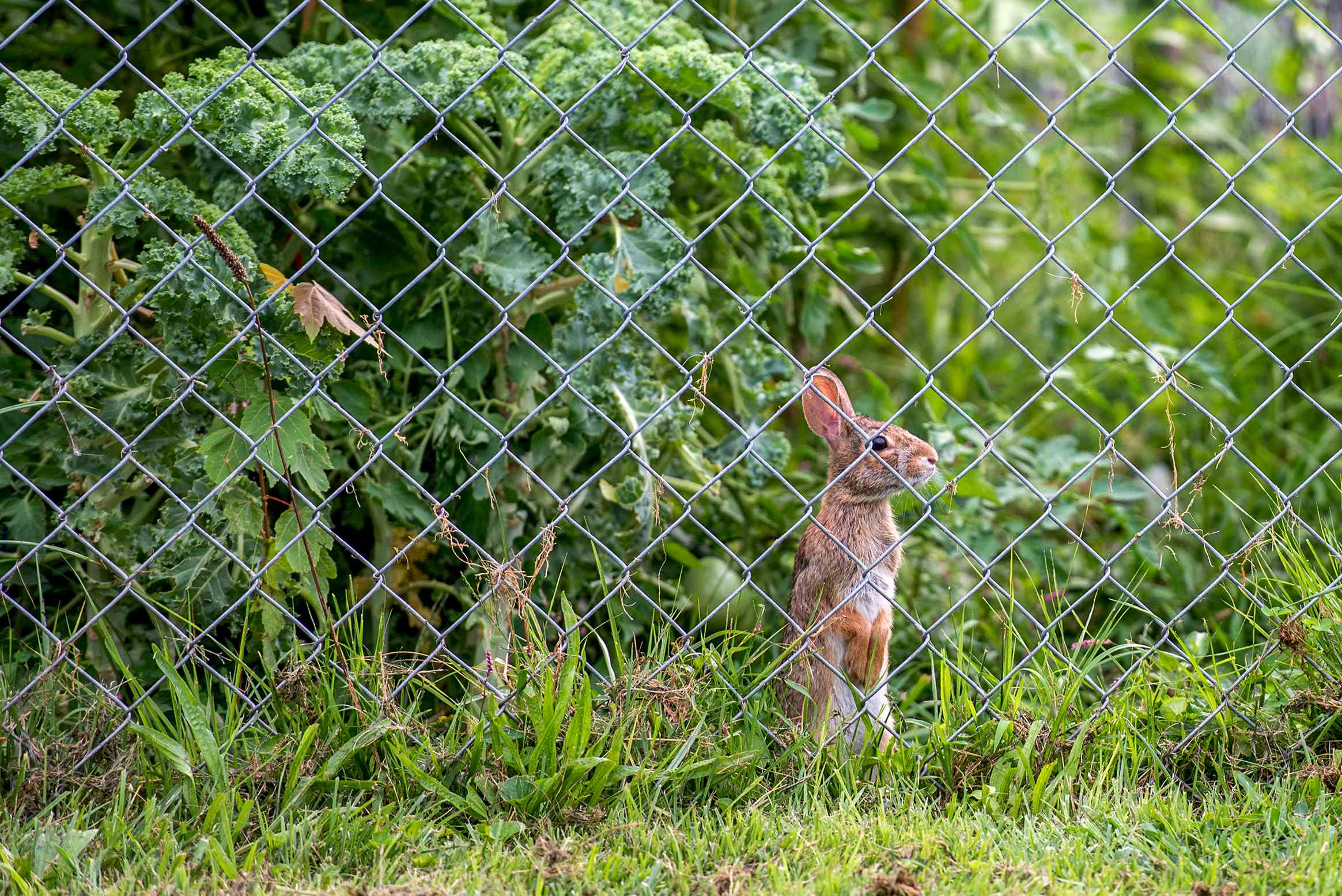 rabbit behind a fence