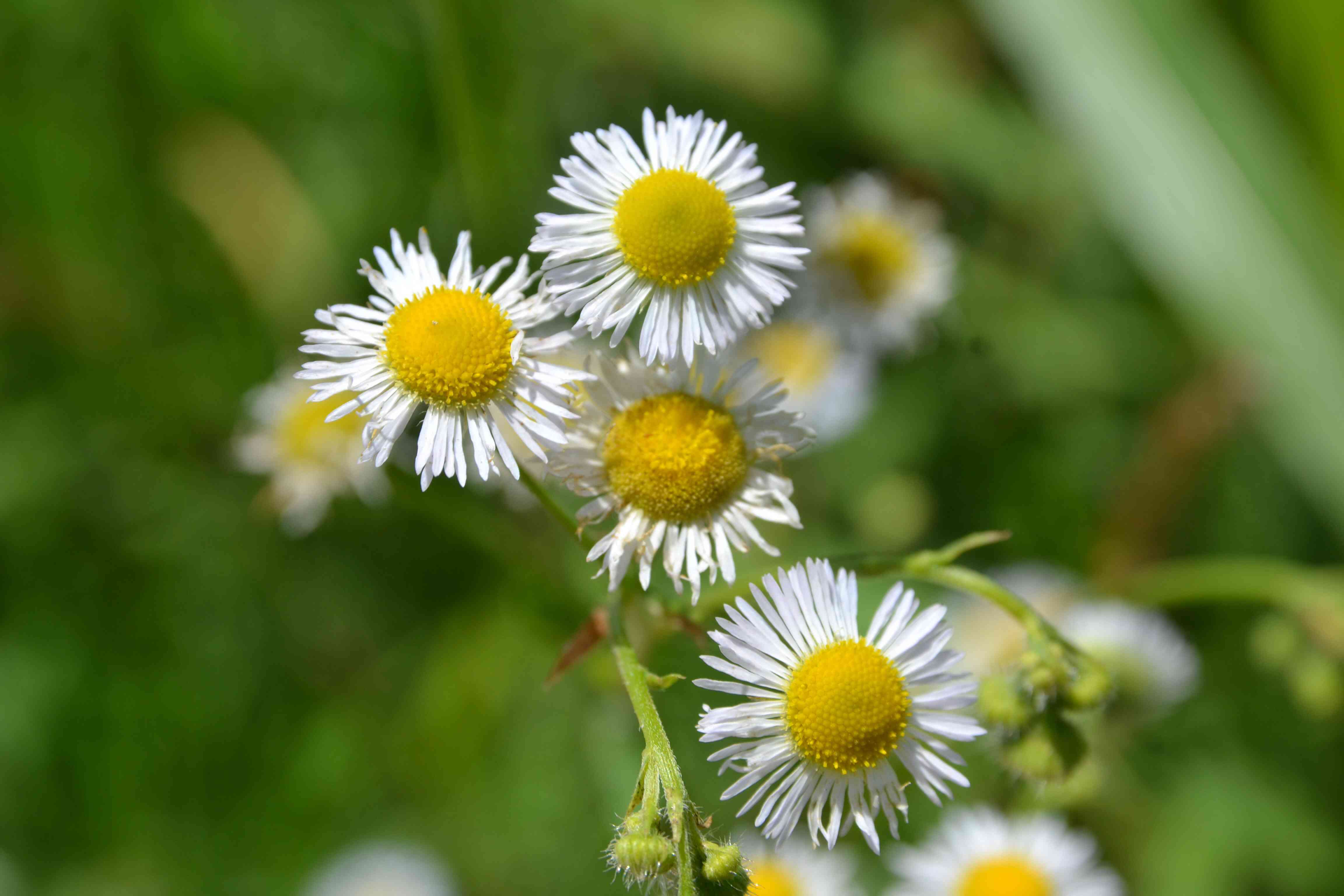 Mexican fleabane flowers with small white thin petals surrounded by yellow centers on stem