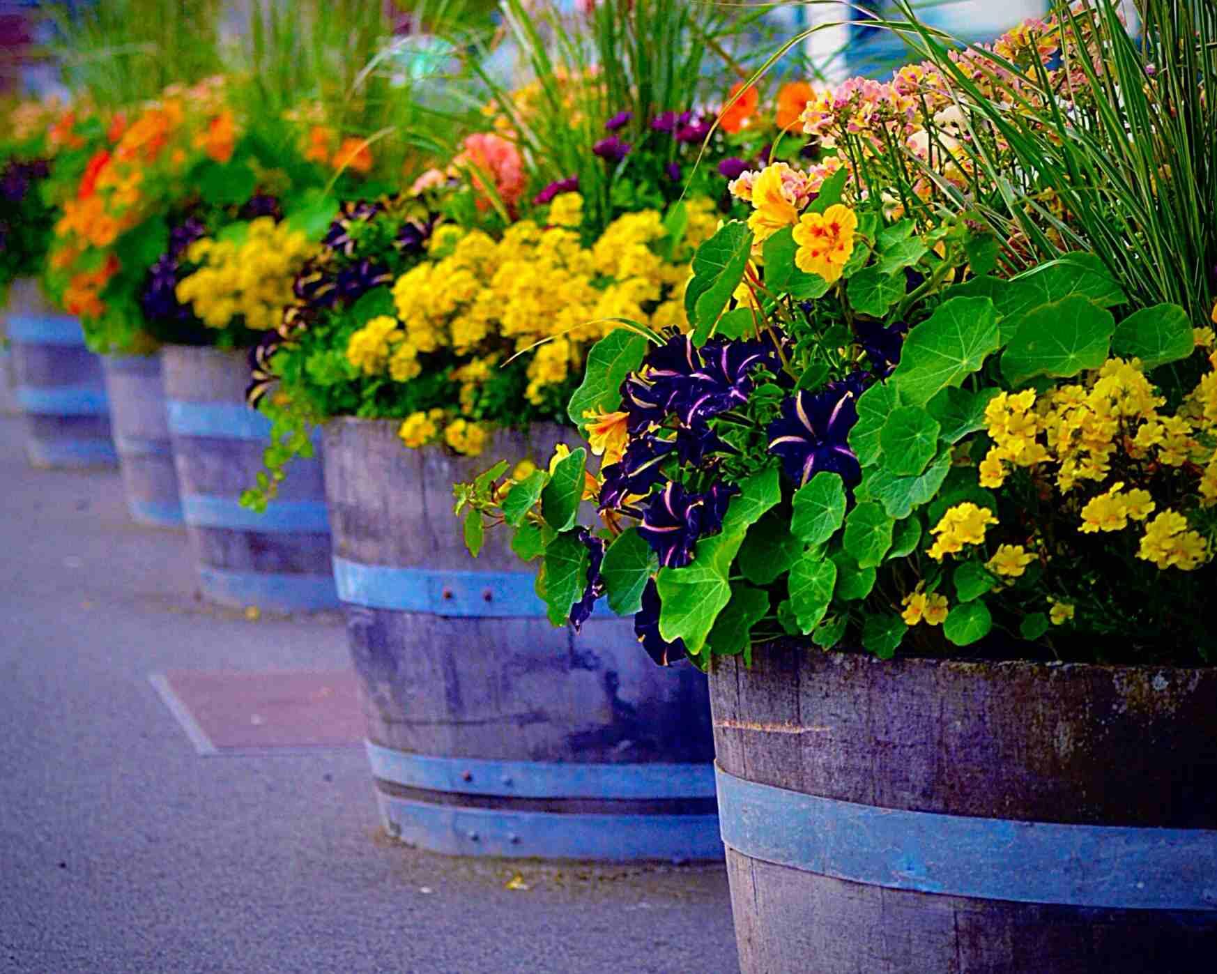 Whisky Barrel Planters