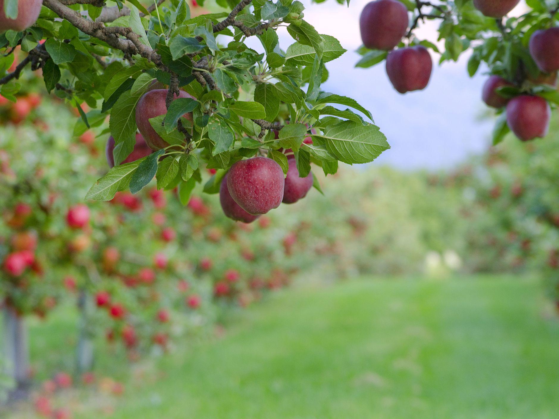 Varieties Of Apple Trees