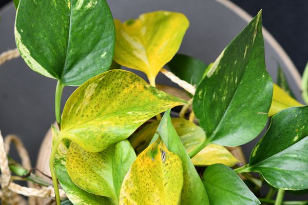 Golden Pothos houseplant. Leaf spot disease, small black stripes caused by fungus or bacterial infection.
