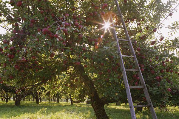 Ladder leaning against apple tree