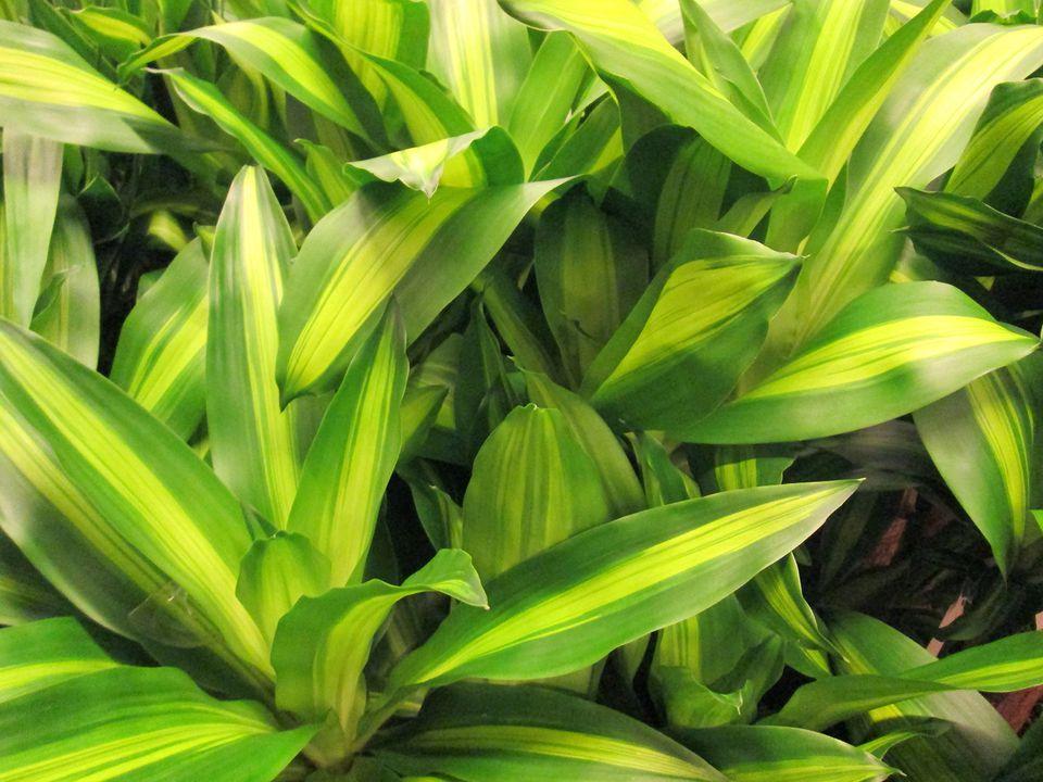 Variegated leaves of Dracaena fragrans 'Massangeana' houseplant / corn plant image