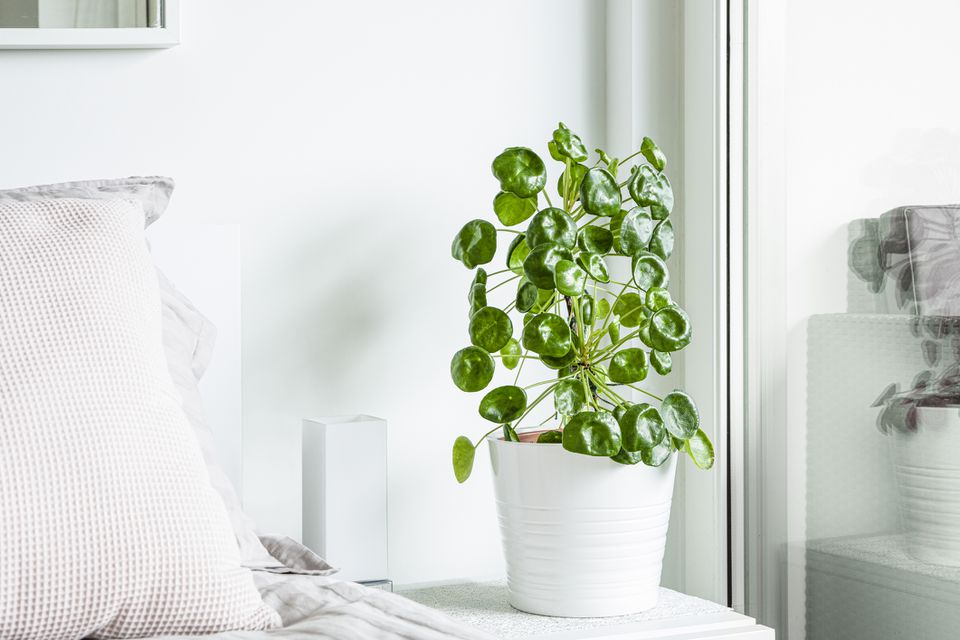 A tall Pilea peperomioides (Chinese money plant) in a white pot against a white wall and white bed next to a bright window.