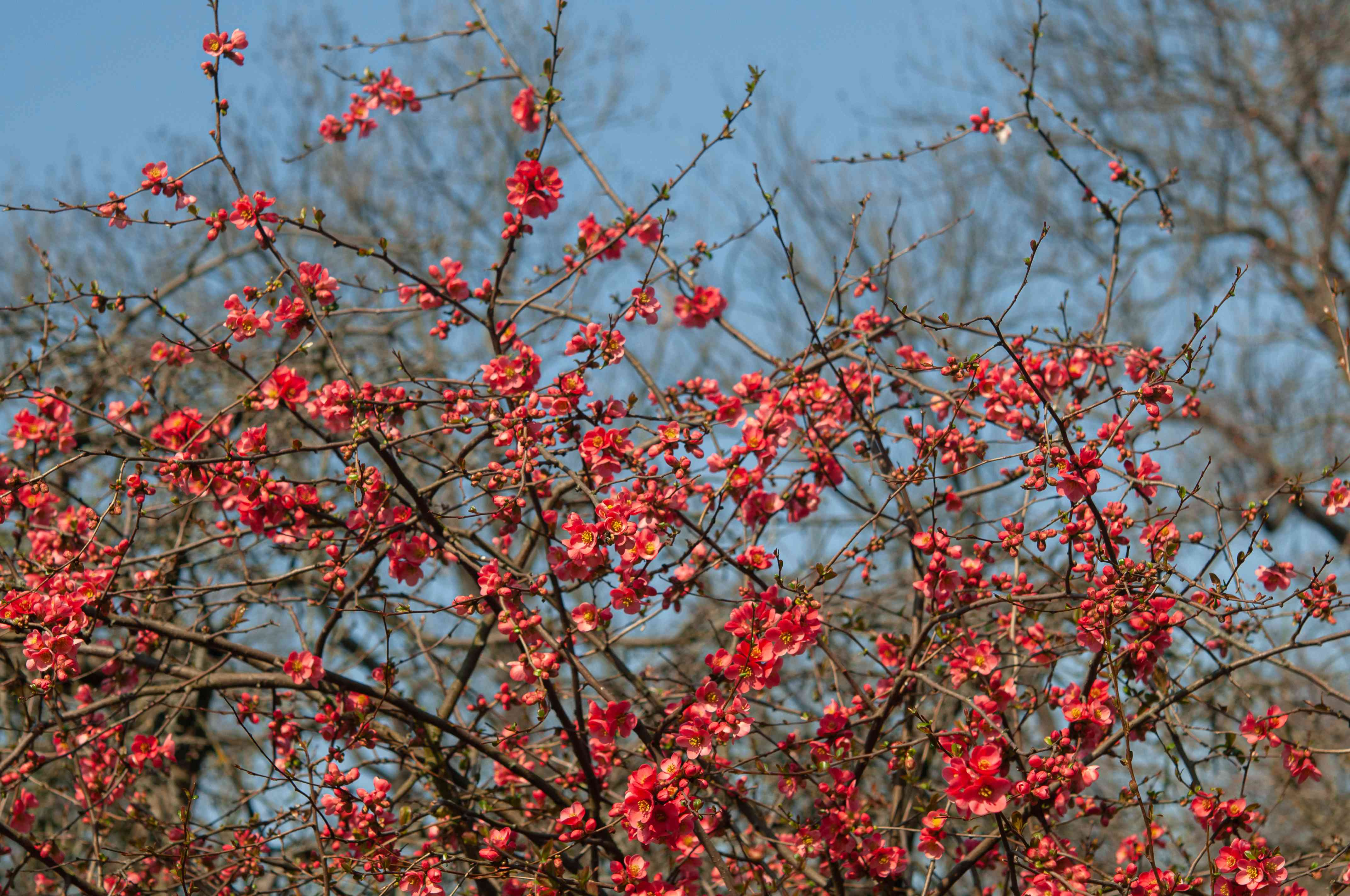 flowering quince shrub