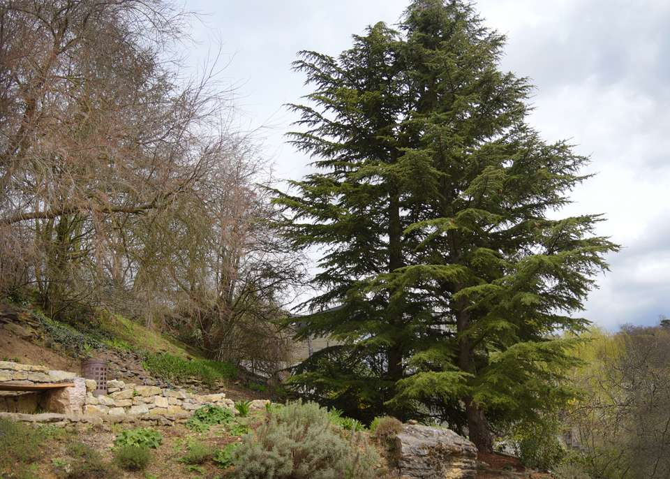 Cedar of Lebanon tree on edge of ledge with wide-spreading branches