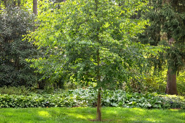 Sweet birch tree with a thin black-brown trunk and sprawling branches in wooded area