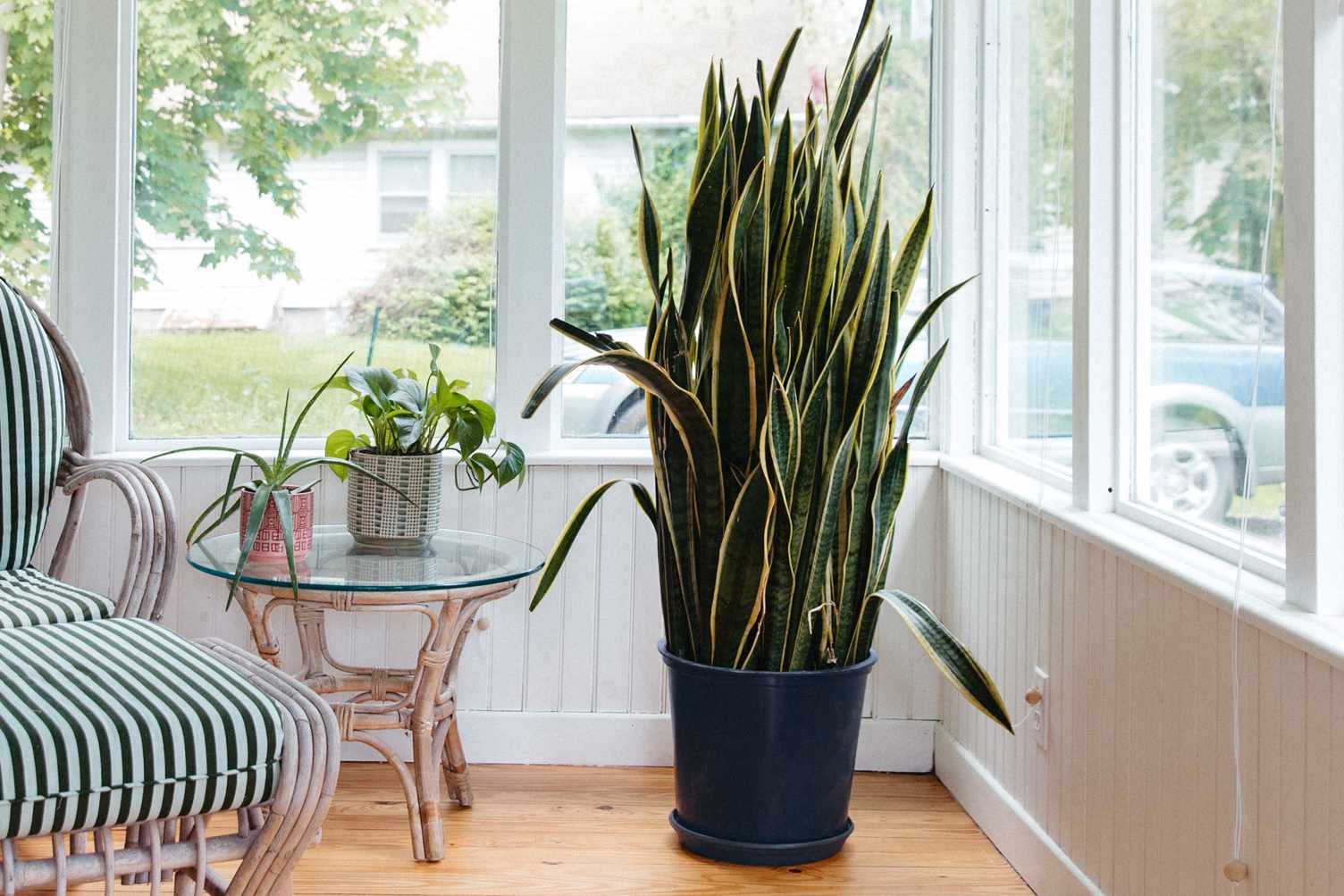 Mother in law's tongue plant in dark blue pot in corner of sunroom
