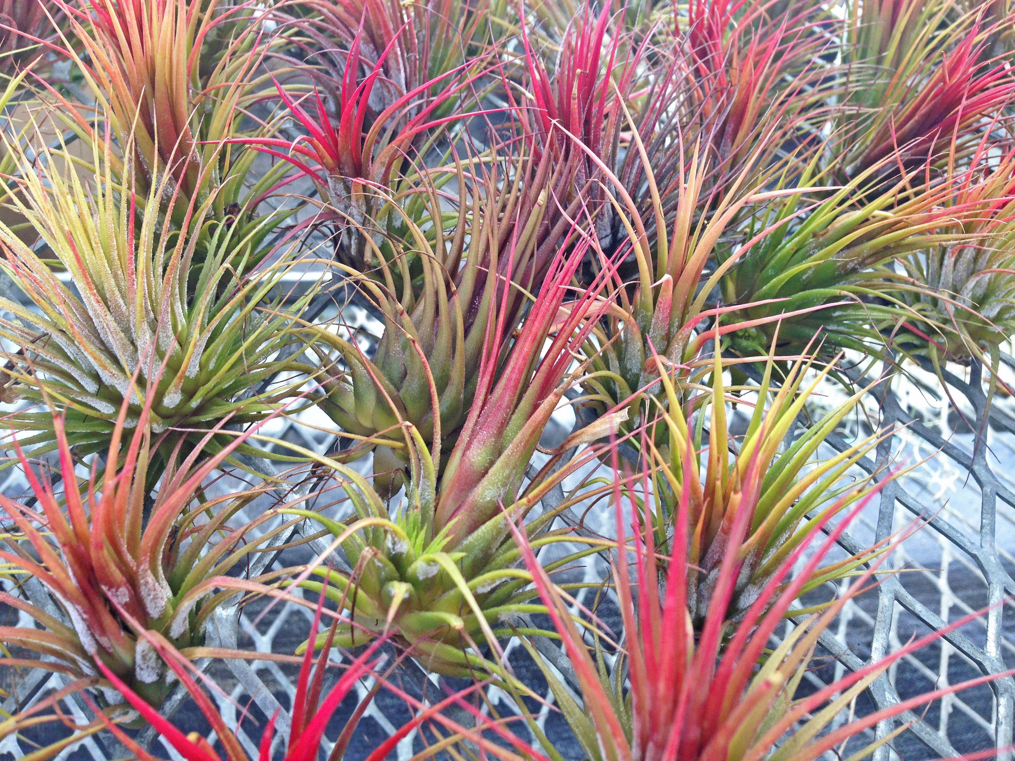 Planta de aire - Tillandsia ionatha 'fuego'