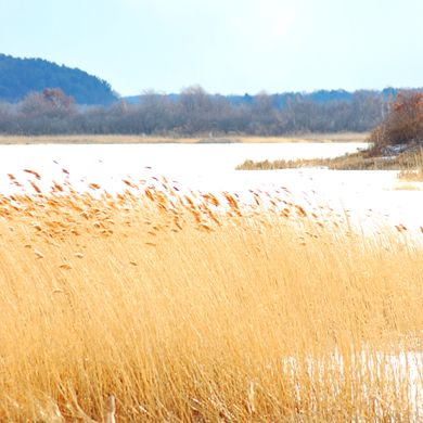 Photo of common reeds in winter pond.