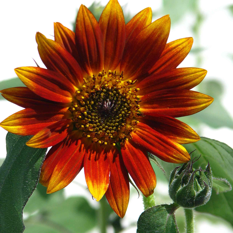 Evening Sun Sunflower