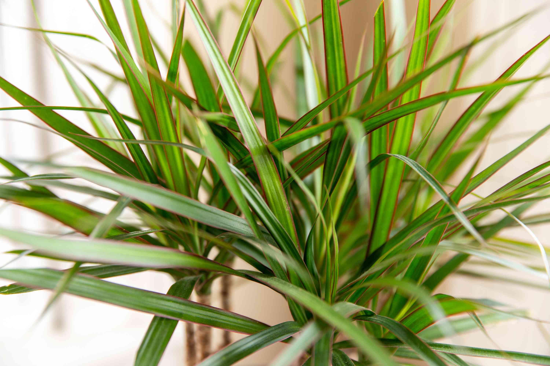 closeup of dracaena plant