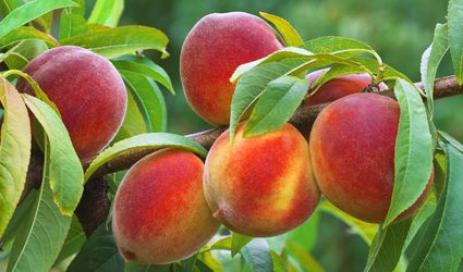 Ripe Peaches Growing on Tree