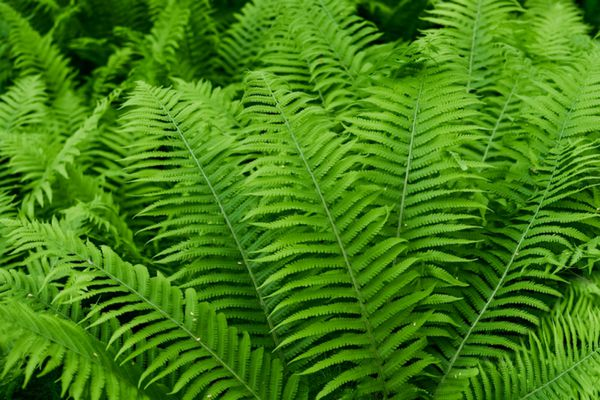 Dixie wood fern with dark green fronds layered behind each other