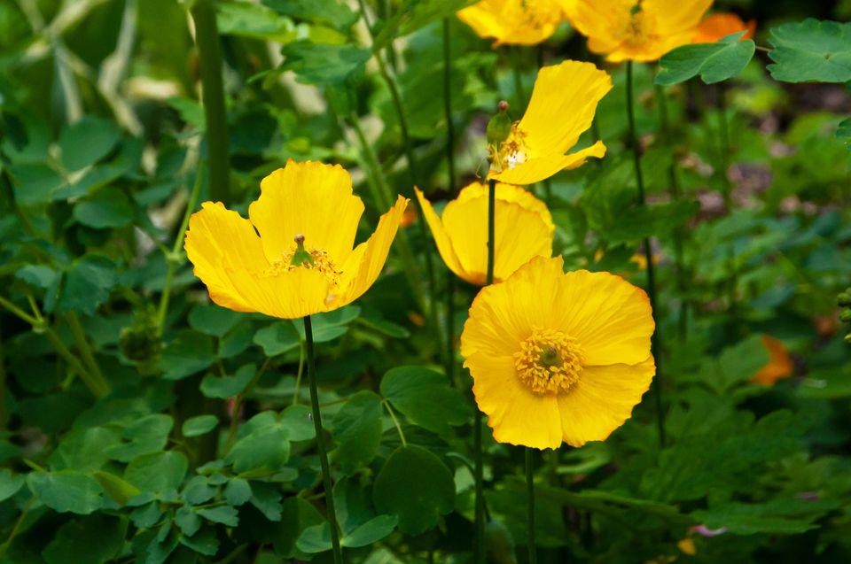yellow wood poppies