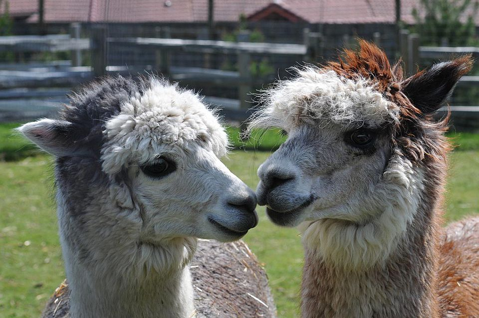 Consider raising alpacas on your homestead for their luxurious fiber