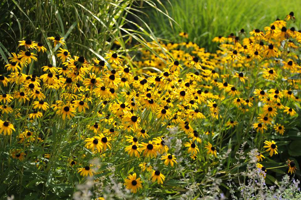 'Goldsturm' black-eyed susan flowers with yellow radiating petals in sunlight