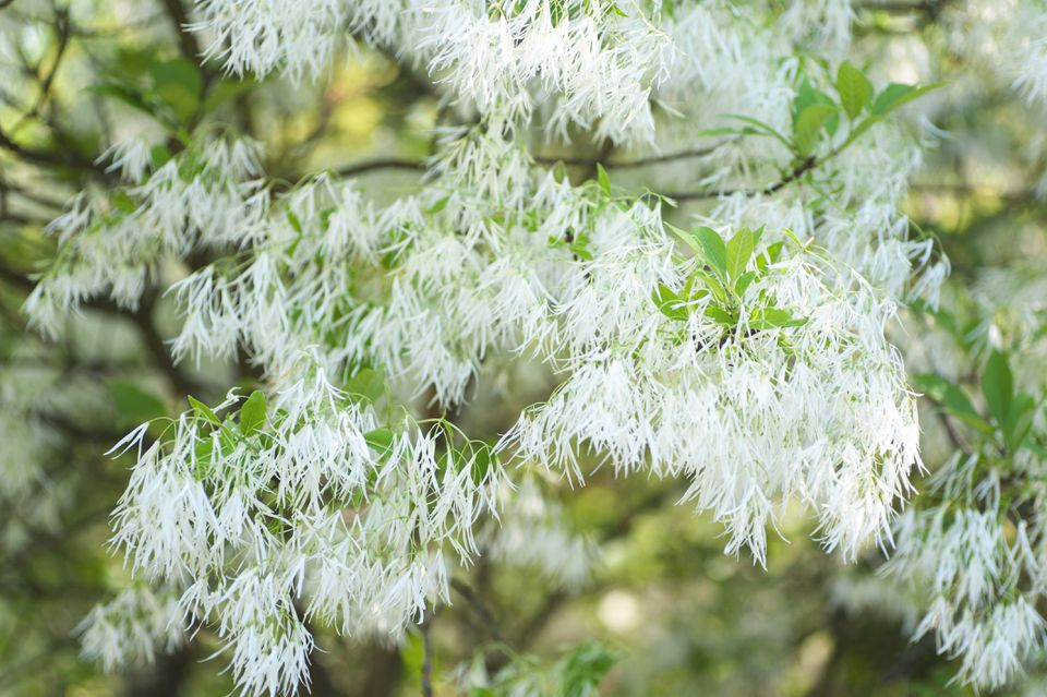 Fringe tree branch with feathery white flowers and and leaves