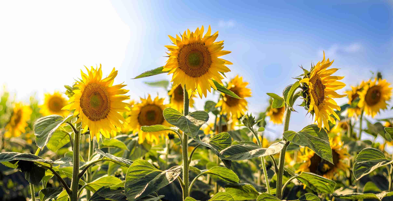 Common Sunflowers
