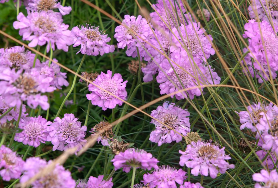 Scabiosa pincushion flowers with pink ruffled petals and long grass
